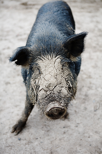 Pig-face-mask